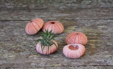 Pink Sea Urchin with Ionatha