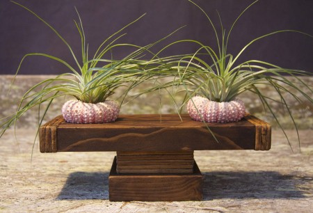 Wooden display stand (20x9x7.5cm) with 2 sea urchins and stricta air plants