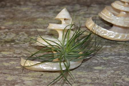Spiral Undosa with Stricta air plant