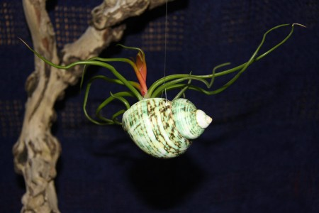 Green Shell with Air Plant
