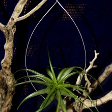Medium Water Drop Hanger with Brachycaulos Air plant
