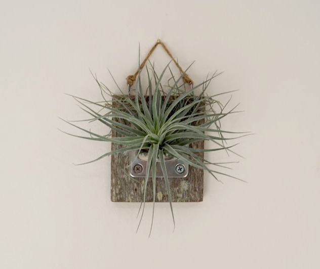 Timber wall mount with air plant living art store for Air plant wall art